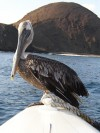 Pelican  Trip: B.A. to L.A. Entry: Galapagos Islands Boat Tour Date Taken: 22 Jan/03 Country: Ecuador Taken By: Mark Viewed: 887 times