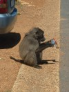 Baboon That Ate My Ice Cream  Trip: Greece, Egypt and Africa Entry: Cape Town & South Coast Date Taken: 12 Nov/03 Country: South Africa Taken By: Travis Viewed: 982 times Rated: 8.3/10 by 3 people